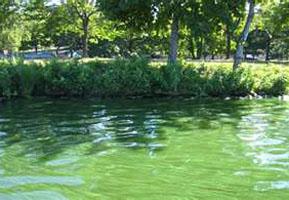 сине-зеленая водоросль - спирулина