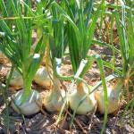 зеленый лук польза
