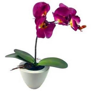 орхидея полезные свойства