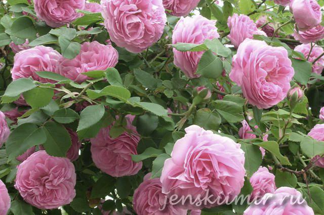 куст чайной розы